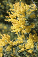 Golden Fluff by AtomicBrownie