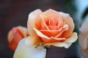 Presented in Orange by AtomicBrownie