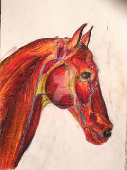 Horse Study - Anatomy