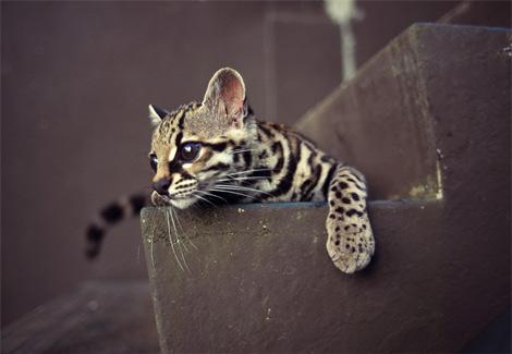 margay kitten by Bastetreincarnate