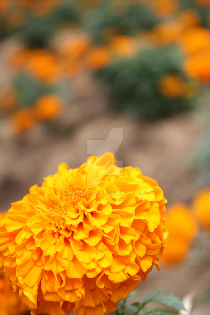 Orange Colour Flower by Kaze-pyon on DeviantArt
