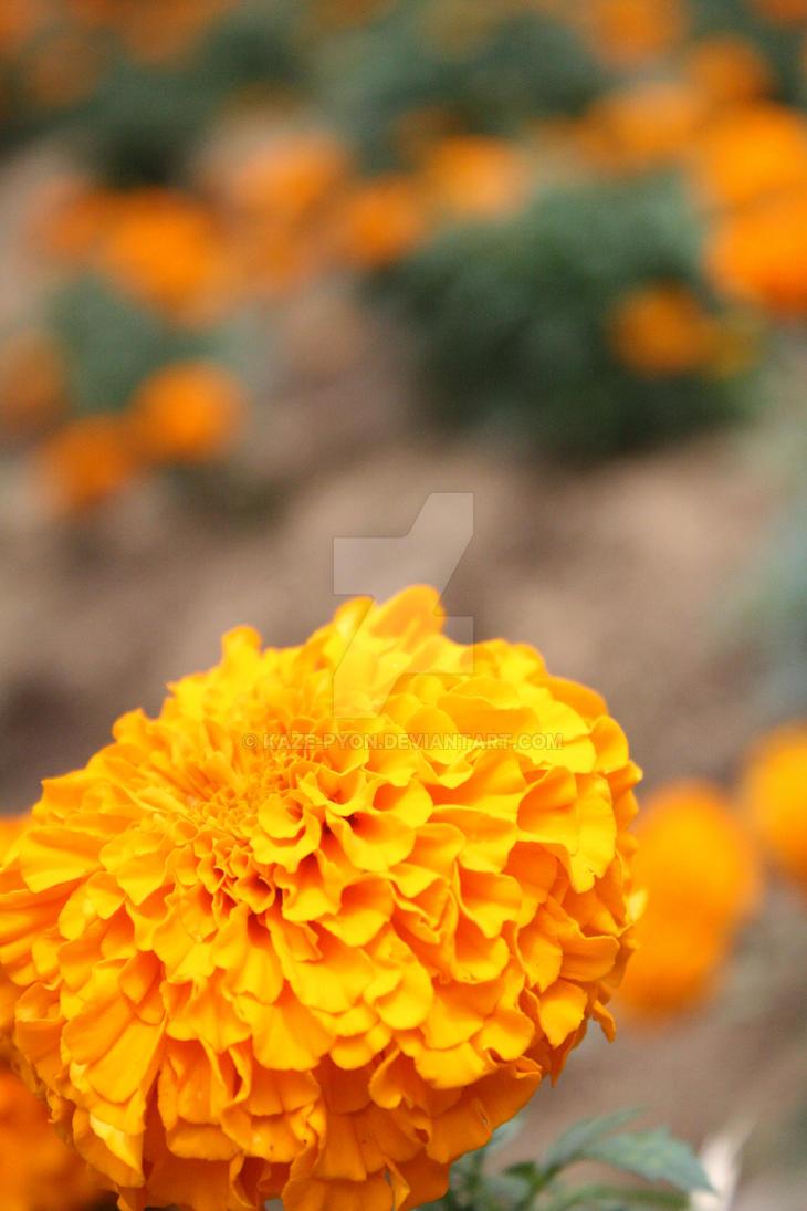 Orange Colour Flower by Kaze-pyon on DeviantArt