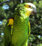 Yellow-Headed Amazon by Soll-DenneGallery