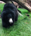 Sloth Bear by Soll-DenneGallery