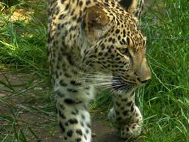 Panthera pardus saxicolor - Persischer Leopard - 6 by Delragon