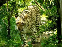 Panthera pardus saxicolor - Persischer Leopard - 7 by Delragon