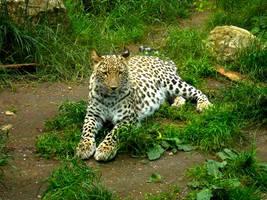 Panthera pardus saxicolor - Persischer Leopard - 8 by Delragon