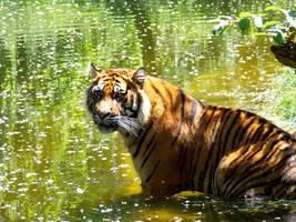 Panthera tigris sumatrae - Sumatratiger - 1 by Delragon