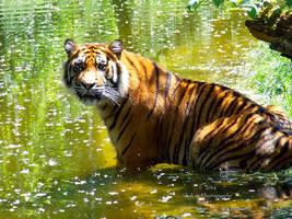 Panthera tigris sumatrae - Sumatratiger - 2 by Delragon