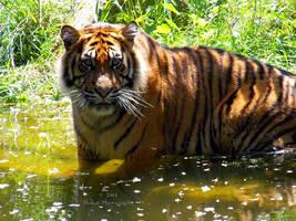 Panthera tigris sumatrae - Sumatratiger - 3 by Delragon