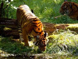 Panthera tigris sumatrae - Sumatratiger - 4 by Delragon