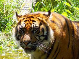 Panthera tigris sumatrae - Sumatratiger - 5 by Delragon