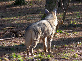 Striped Hyena - Streifenhyaene - 05 by Delragon