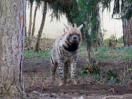 Striped Hyena - Streifenhyaene - 07 by Delragon