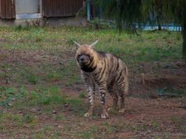 Striped Hyena - Streifenhyaene - 06 by Delragon
