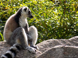 Lemur by Delragon