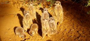 Meerkats by Delragon