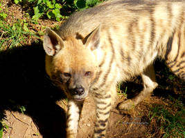 Striped Hyena by Delragon