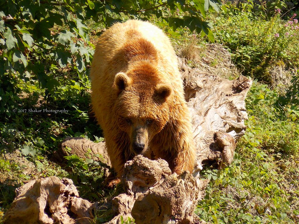 Bear by Delragon