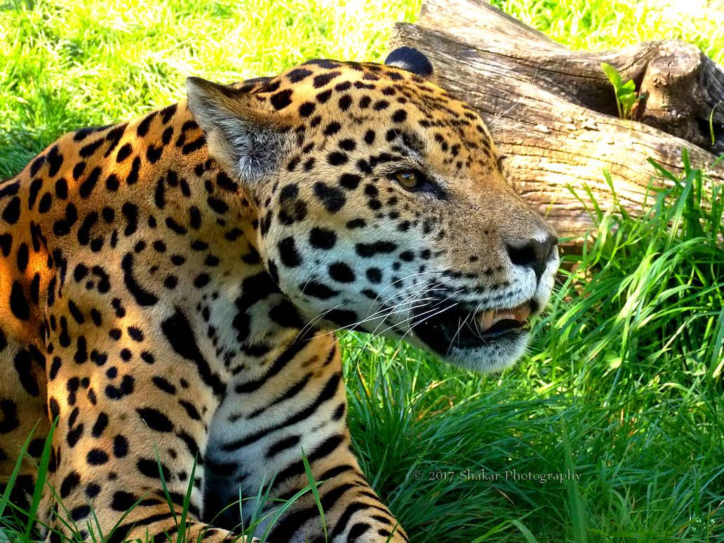 Jaguar by Delragon