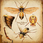 Vespa Mandarinia, Scientific illustration