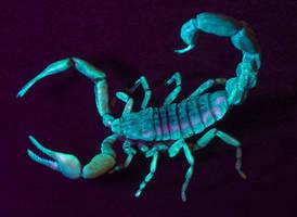 Hottentotta sp. Sculpture - Fluorescence