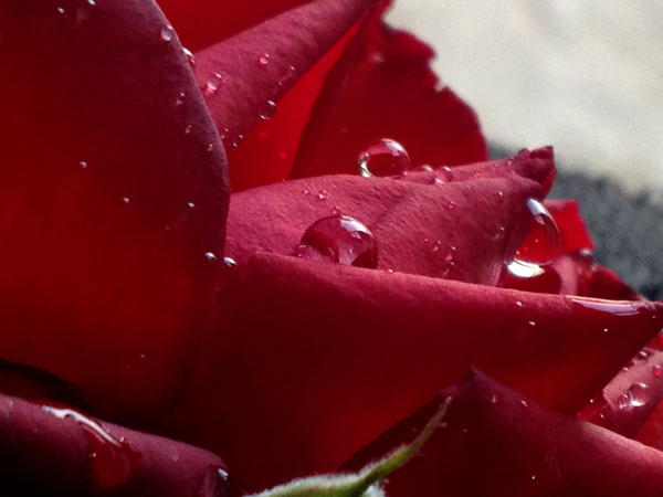Rose with drops by Sam-432
