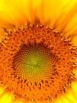 Sunflower by Sam-432