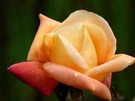 Salmon rose by Catticat