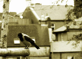 Thinking Crow by Catticat