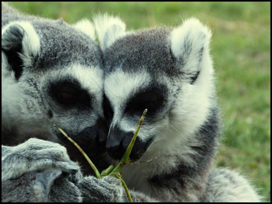 Lovely Lemurs by Catticat