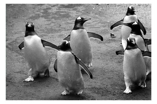 March of the Pingu