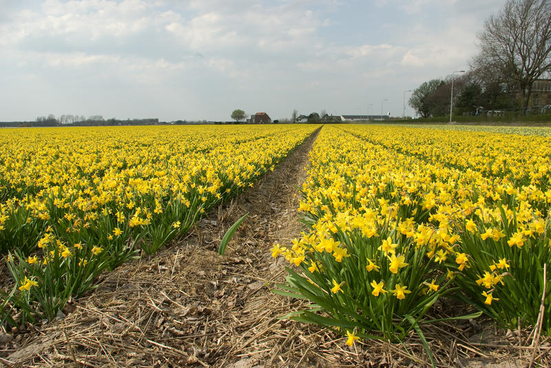 Flowering narcis fields by steppeland