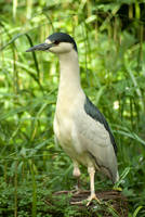 Black Crowned Night Heron 2 by steppeland