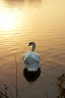Swan in golden light by steppeland