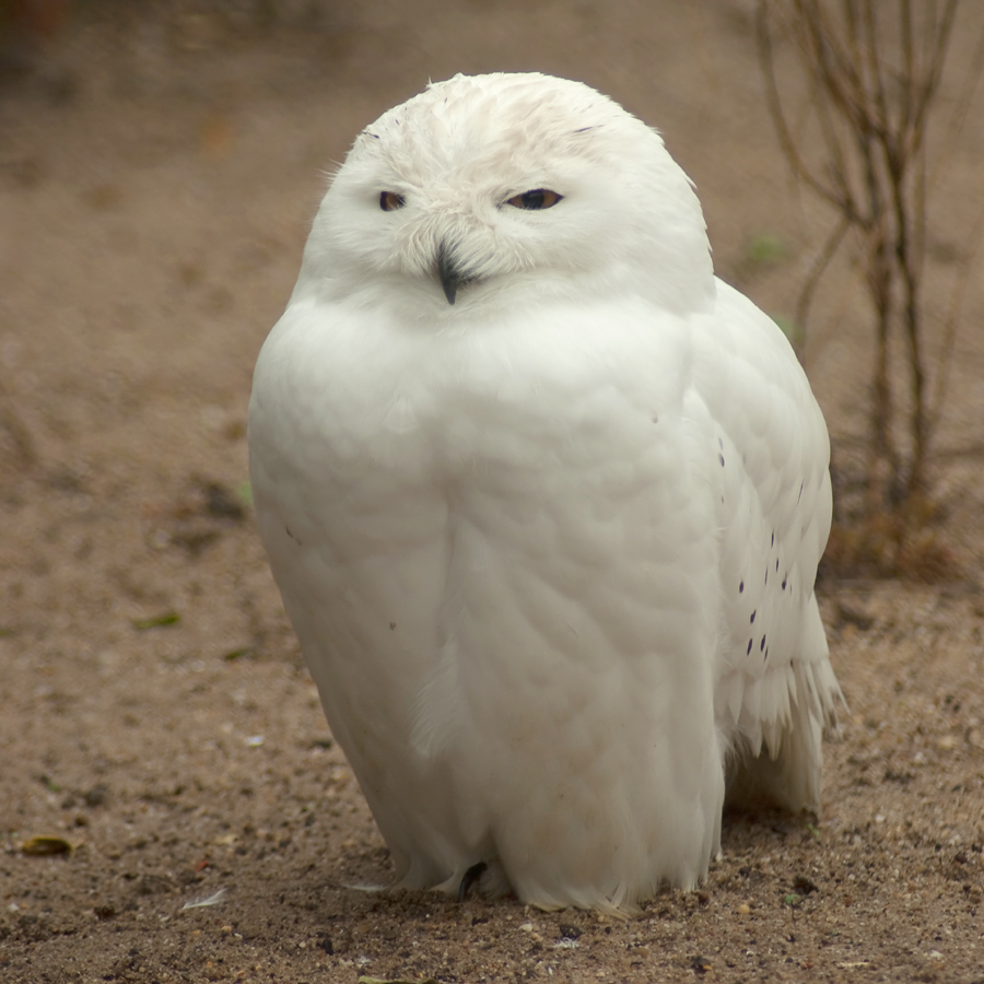 Fluffy the Snow Owl by steppeland