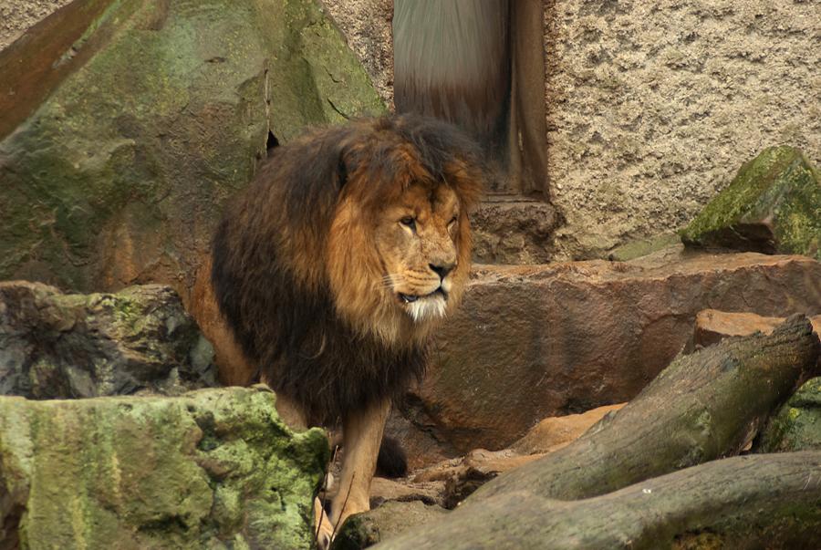 Grumpy Lion by steppeland
