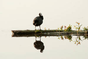 Coot by steppeland
