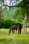 Horses in the old apple grove2