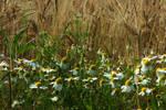 Chamomile flowers near ...