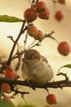 Sparrow in a mini-apple tree