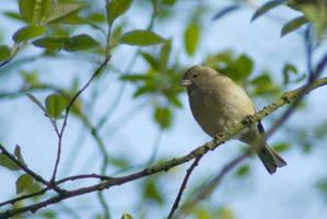 Female Chaffinch -Little song bird by steppeland