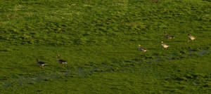 Three pair of geese in a soggy meadow