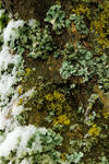 Texture of lichens, snow and wood