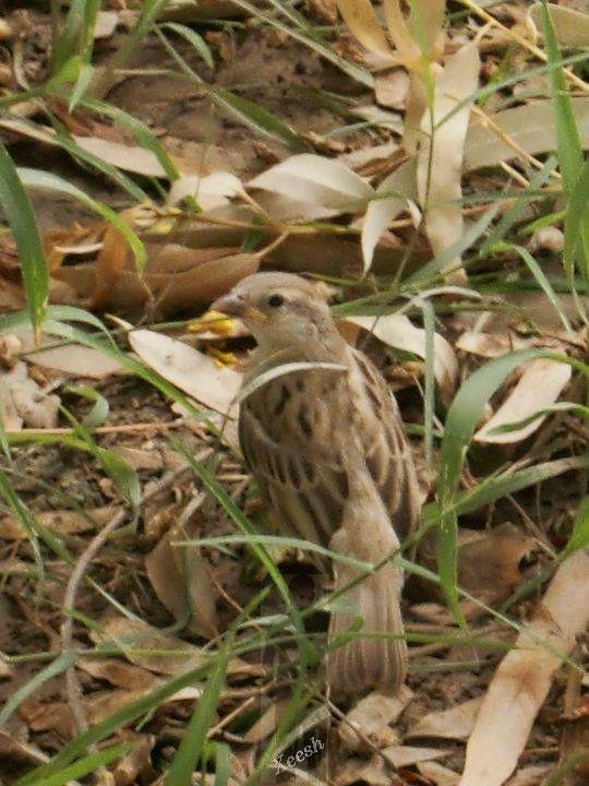 sparrow by xeeshi