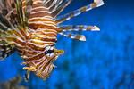 Lionfish Encounter by jojo22