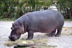 Hippopotamus Full Body Stock