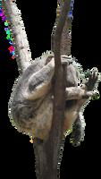 Koala In Tree Png Stock