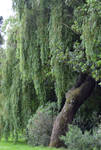 Weeping Willow Stock