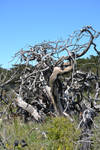 Gnarled Dead Trees Stock2
